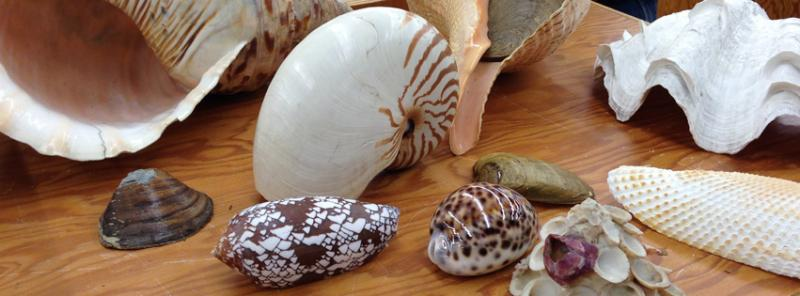 Shells on display at the Mollusc Division at the Museum.