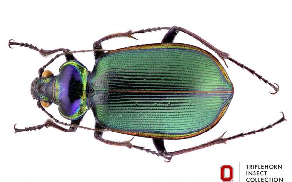 picture of large beetle